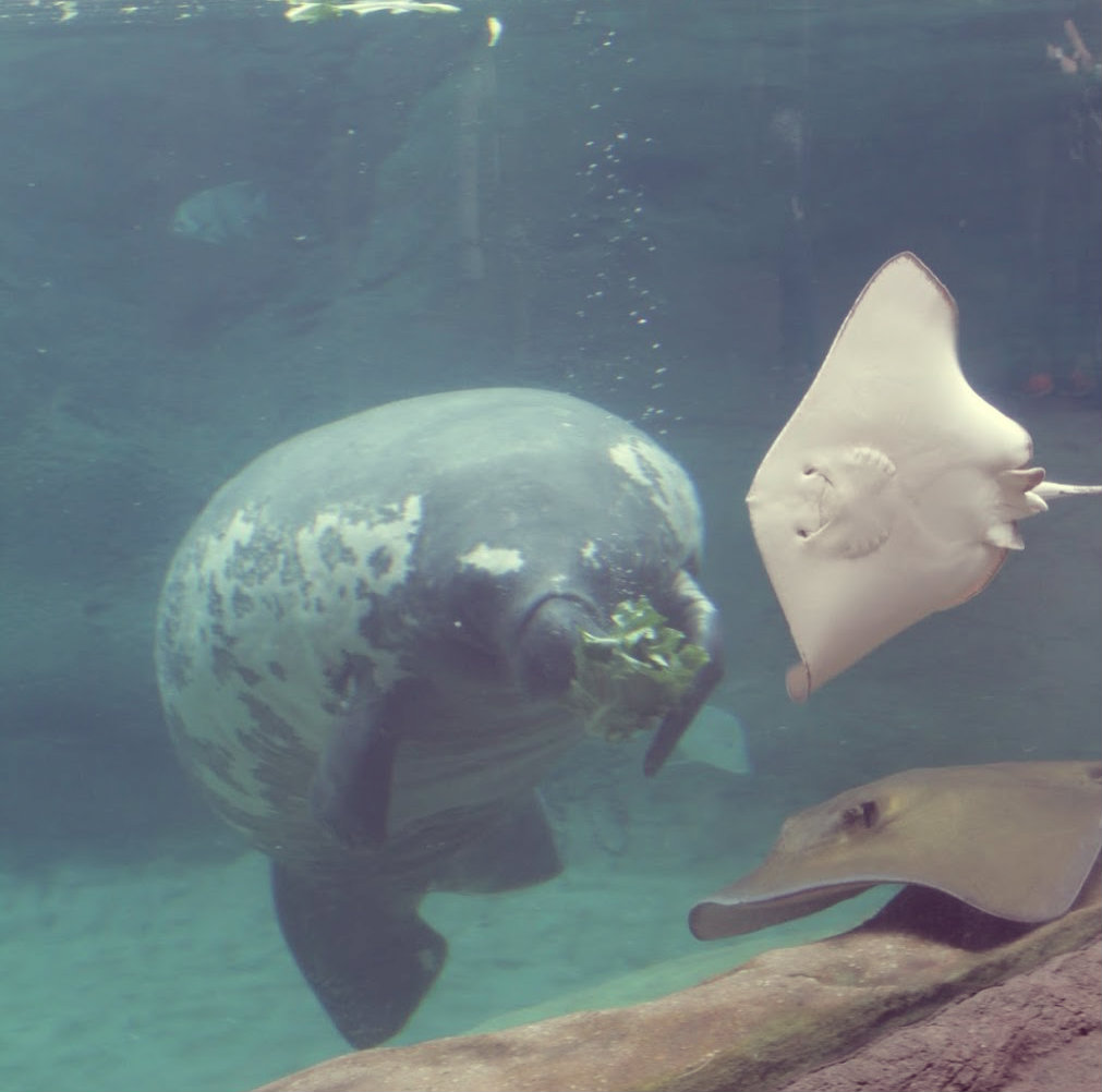 Manatees and Sting Rays #319 (Columbus Zoo April 21, 2018)